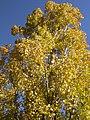 Populus × canadensis (5002309639).jpg