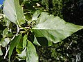 Populus balsamifera (5002986268).jpg