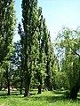 Populus nigra-bekes-3.jpg