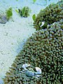 Porcelain Crab in Anemone with Anemone fish.jpg