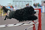 Portuguese Water Dogs are active and well-suited to many dog sports