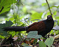 Powai coucal1 - Flickr - Lip Kee.jpg