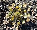 Pozoa volcanica (8624131113).jpg