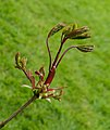Prachtig uitlopend blad van een esdoorn (Acer). Locatie, Locatie, De Famberhorst 03.jpg