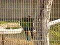 Primolius maracana -Paphos Zoo -back-6.jpg
