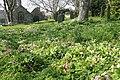 Primroses in the churchyard at Germoe - geograph.org.uk - 1258314.jpg