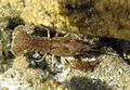 Procambarus cf. fallax1 A MRKVICKA.JPG