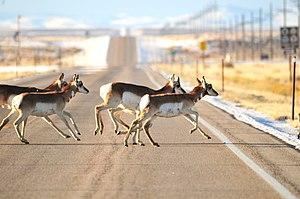 Wyoming Highway 372 - Pronghorn crossing Highway 372