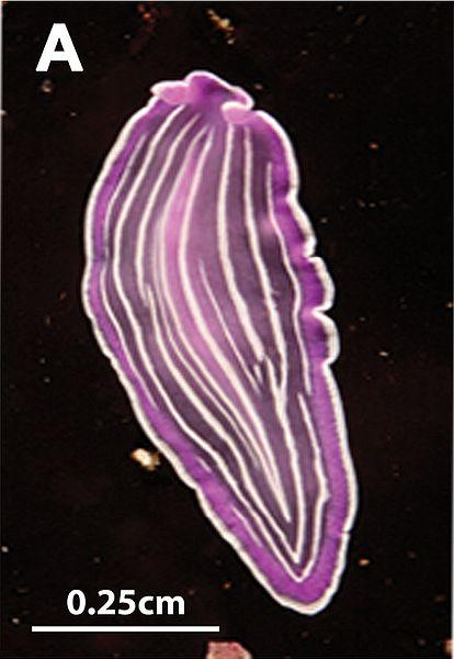 Prostheceraeus giesbrechtii (roseus)