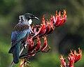 Prosthemadera novaeseelandiae -Waikawa, Marlborough, New Zealand-8 (1).jpg