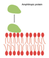 Proteïna amfitròpica.png