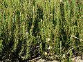 Protea lanceolata.JPG