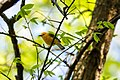 Prothonotary warbler (40886223065).jpg
