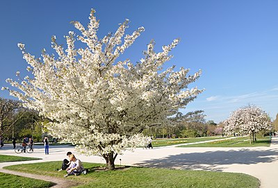 Cherry Blossom Owlapps