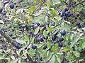 Prunus spinosa4.jpg