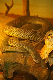 a thick-set brownish snake in a rocky area in a zoo.