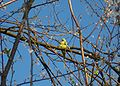Psittacula krameri feral Germany.jpg