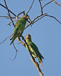 Psittacula longicauda (pair) -Malaysia-4