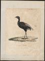 Psophia crepitans - 1825-1834 - Print - Iconographia Zoologica - Special Collections University of Amsterdam - UBA01 IZ17300051.tif