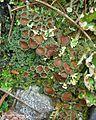 Psoroma hypnorum 45903.jpg