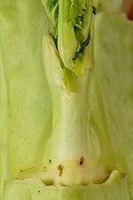 Psylliodes chrysocephala larva (31134871573).jpg