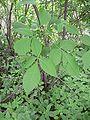Ptelea trifoliata 20050606 644 2.jpg