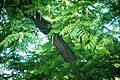 Pterocarya fraxinifolia Zemun 3.jpg