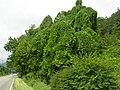 Pueraria montana lobata (5181912939).jpg