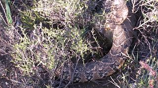 File:Puff adder puffing.ogv
