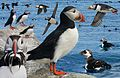Puffin From The Crossley ID Guide Eastern Birds.jpg