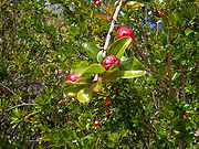 Pomegranate leaves