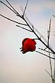 Punica granatum (fruto).jpg