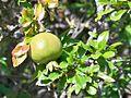 Punica granatum fruit - Montes de Málaga.JPG