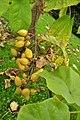 Puyallup, WA - seedpods of Paulownia tomentosa at Ezra Meeker mansion 01.jpg