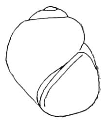 A snail shell that is quite round with a low spire and an oval aperture