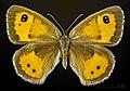 Pyronia bathseba MHNT CUT 2013 3 32 Muret female dorsal.jpg