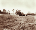 Queensland State Archives 3934 Yearling Devon bulls and Yearling Lincoln rams Canning Downs Station near Warwick 3 May 1894.png