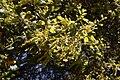 Quercus agrifolia-9.jpg