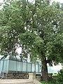 Quercus ilex 01 by Line1.jpg