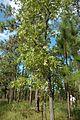 Quercus laevis (23539045824).jpg