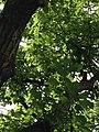 Quercus rubra (Red Oak) C31-1.jpg
