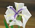 Rabbitear Iris Iris laevigata Flower 2305px.jpg