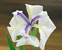 Closeup photo of an iris flower which is white with purple streaks