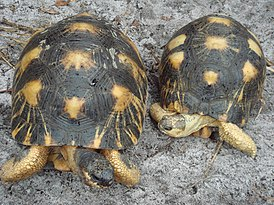 Radiated tortoise.jpg