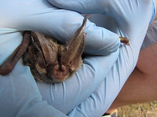Rafinesques big-eared bat species of mammal