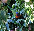 Rainbow lorikeet camoflaged.jpg