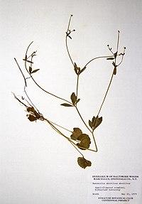 Ranunculus abortivus BW-1979-0522-0581.jpg
