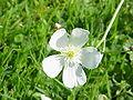 Ranunculus aconitifolius0.jpg
