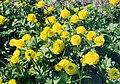 Ranunculus repens 'flore pleno'.jpg