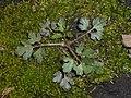 Ranunculus repens 2018-04-12 8293.jpg